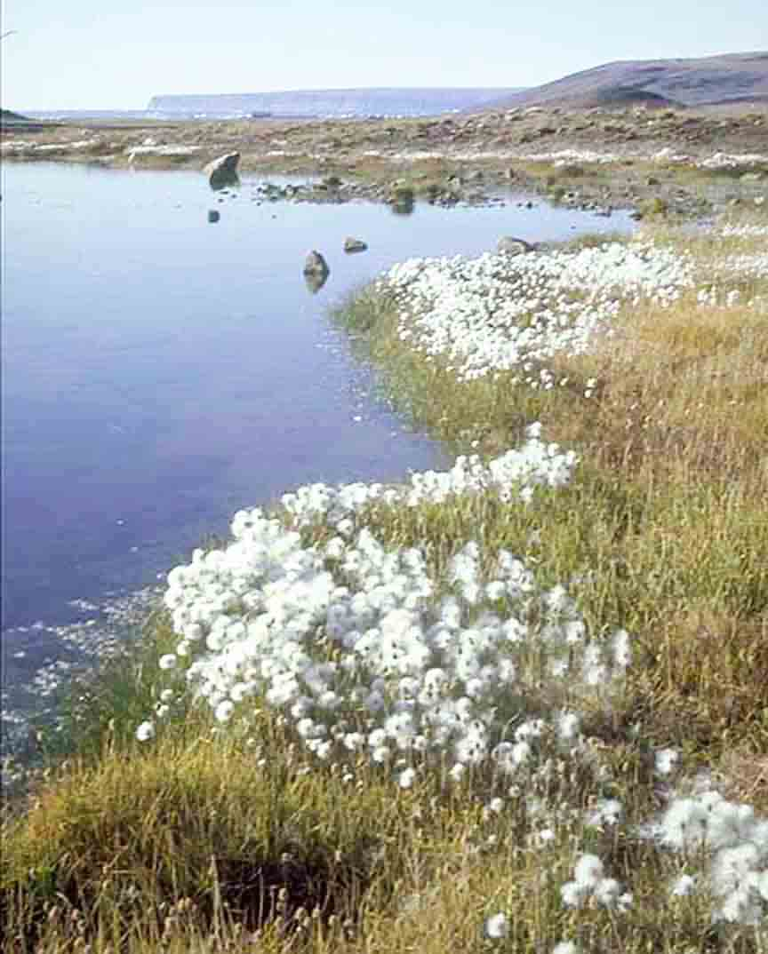 Arctic 'cotton'
